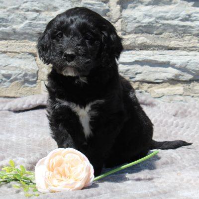 Emma - F1 Standard Goldendoodle puppie for sale in Lebanon, Pennsylvania