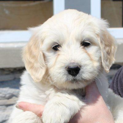 Evelyn - F1 Standard Goldendoodle female doggie for sale near Lebanon, Pennsylvania