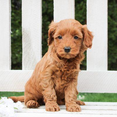 Daisy - f1bb Mini Goldendoodle