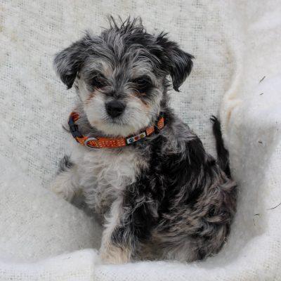 Graycie - F1 Schnoodle doggie for sale at Leola, Pennsylvania