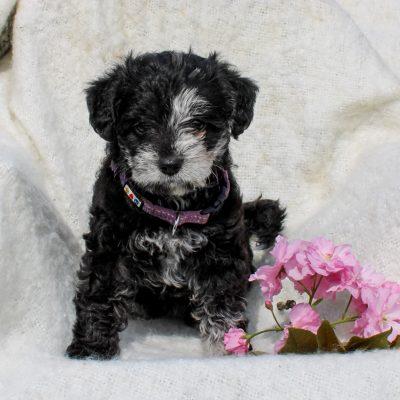 Peppa - F1 Schnoodle female puppie for sale near Leola, Pennsylvania