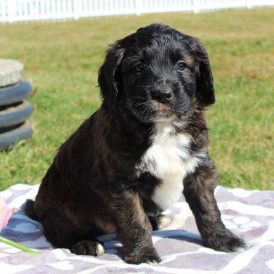 Felicia - ACA F1 Saint Berdoodle female pupper for sale