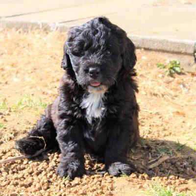 Felix - ACA F1 Saint Berdoodle male puppie for sale