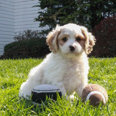 Finn - F1 Cavachon male puppy for sale at Mercersburg, Pennsylvania