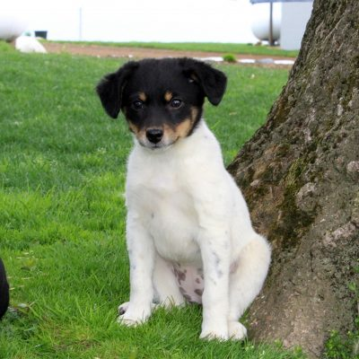 Flower - pupper Chihuahua-Jack Russell Mix female for sale in Quarryville, Pennsylvania