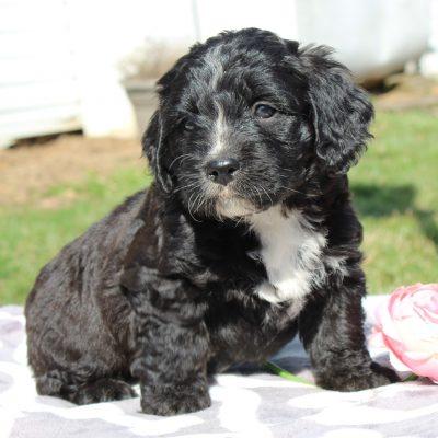 Fluffy - puppy ACA F1 Saint Berdoodle for sale
