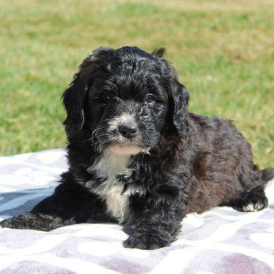 Frank - male ACA F1 Saint Berdoodle doggie for sale