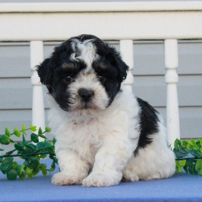 Gabby - F1 Shichon male doggie for sale in Mercersburg, Pennsylvania