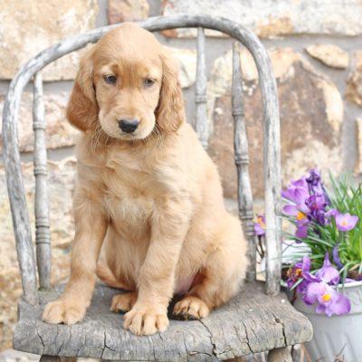 Galena - Golden Retriever/Irish Setter mix puppy for sale in Mercersburg, Pennsylvania