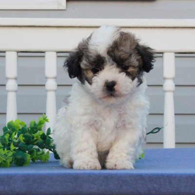 Garret - puppie F1 Shichon male for sale near Mercersburg, Pennsylvania