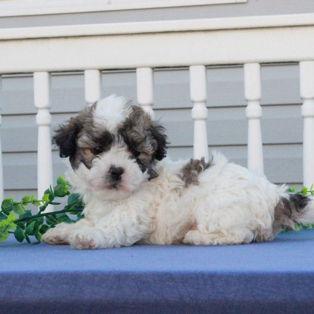 Garret - puppie F1 Shichon male for sale near Mercersburg, Pennsylvania