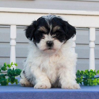 Gatsby - F1 Shichon pup for sale in Mercersburg, Pennsylvania