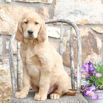 Gent - puppie Golden Retriever/Irish Setter mix for sale near Mercersburg, Pennsylvania