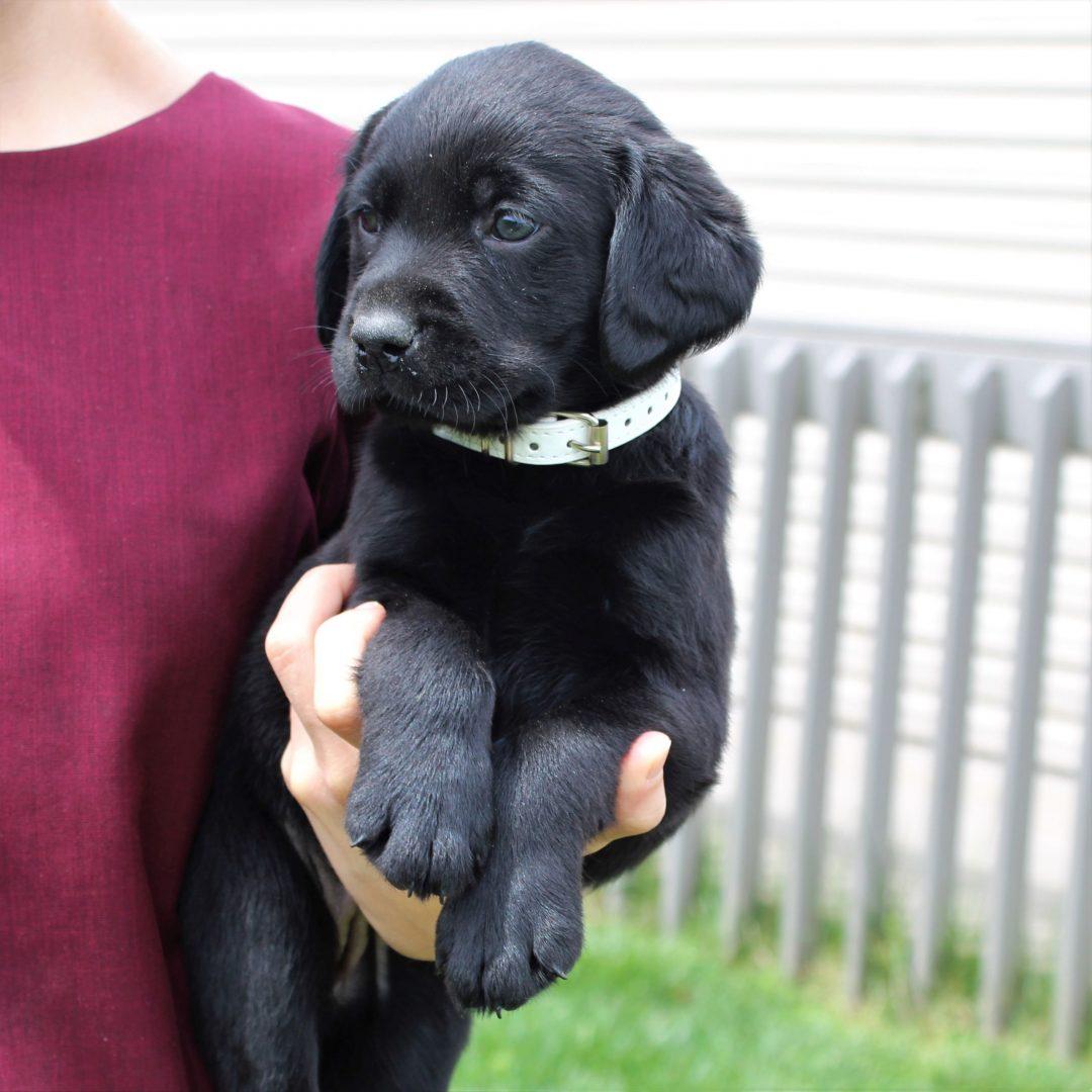 Gia - AKC Labrador retriever female doggie for sale at East Earl, Pennsylvania