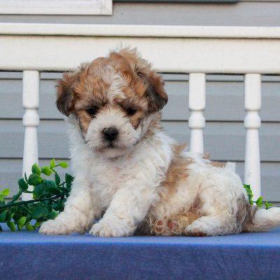 Gracie - F1 Shichon female puppy for sale at Mercersburg, Pennsylvania