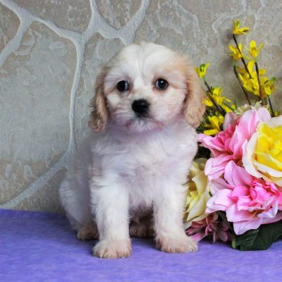 Gracie - female F1 Cavachon puppy for sale at Gordonville, Pennsylvania