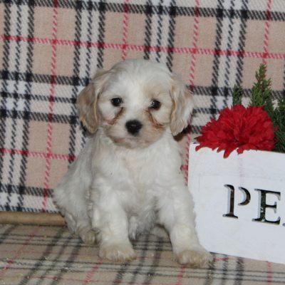 Hope - F1 Cavachon female puppie for sale in New Providence, Pennsylvania