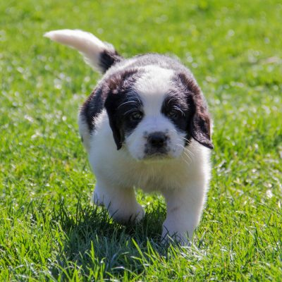 Indie - Saint Berdoodle female puppy for sale at Shippensburg, Pennsylvania