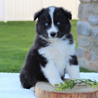 Jasper - pup Siberian Husky/Samoyed male for sale near Ephrata, Pennsylvania