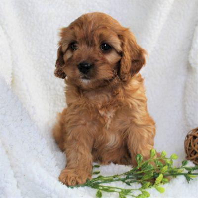 Kane - f1 Cavapoo male doggie for sale near Narvon, Pennsylvania