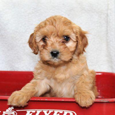 Kayla - female f1 Cavapoo puppy for sale at Narvon, Pennsylvania
