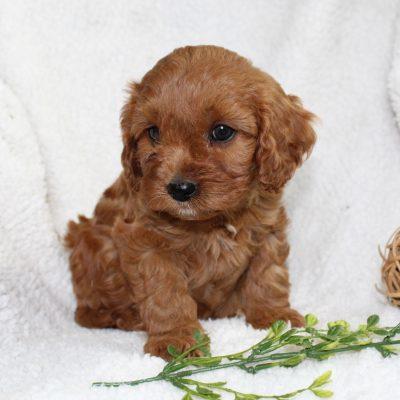 Kenny - f1 Cavapoo male puppy for sale in Narvon, Pennsylvania