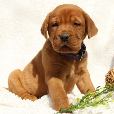 Kings - AKC Fox Red Labrador Retriever puppy for sale in Mercersburg, Pennsylvania