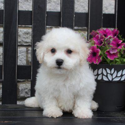 Kipper - Bichon Frise pup for sale at Gordonville, Pennsylvania