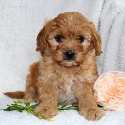 Kira - f1 Cavapoo female pup for sale near Narvon, Pennsylvania