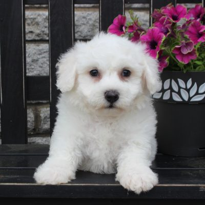 Knox - Bichon Frise puppy for sale in Gordonville, Pennsylvania