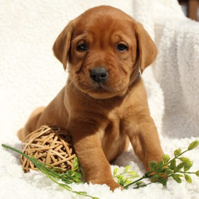Koby - pupper AKC Fox Red Labrador Retriever male for sale near Mercersburg, Pennsylvania