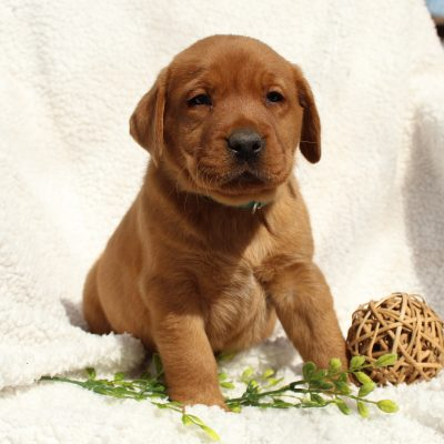 Kooper - AKC Fox Red Labrador Retriever male pup for sale at Mercersburg, Pennsylvania