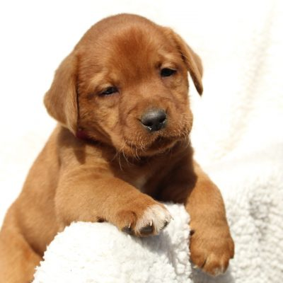 Kyla - AKC Fox Red Labrador Retriever female puppie for sale in Mercersburg, Pennsylvania