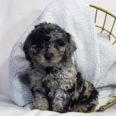 Leon - male f1bb Mini Goldendoodle pup for sale at Newmanstown, Pennsylvania