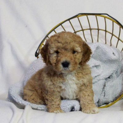 Lila - female f1bb Mini Goldendoodle pup for sale in Newmanstown, Pennsylvania