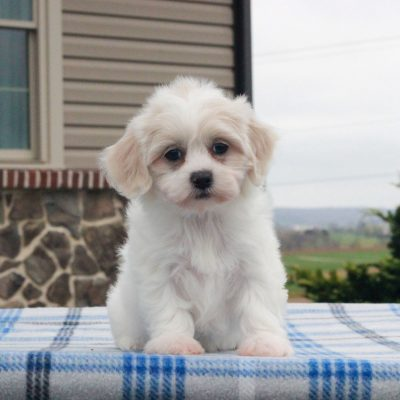 Lilly - F1 Shichon