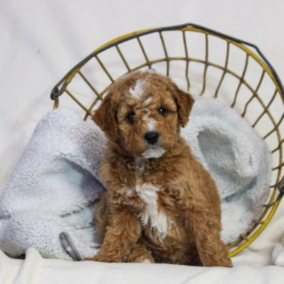 Lilly - f1bb Mini Goldendoodle female puppy for sale near Newmanstown, Pennsylvania
