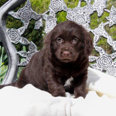 Lola - F1 Mini Labradoodle female puppie for sale at Parksburg, Pennsylvania