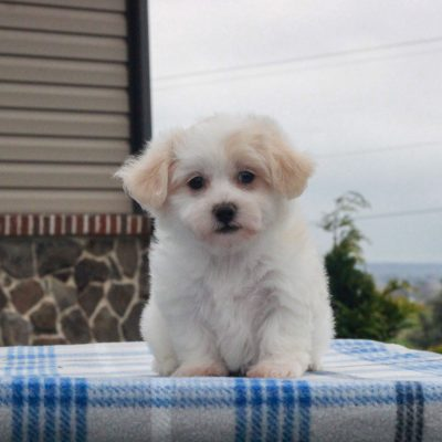 Lonnie - F1 Shichon male pupper for sale