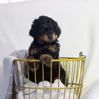 Lucas - f1bb Mini Goldendoodle male puppy for sale in Newmanstown, Pennsylvania