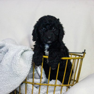 Lyn - f1bb Mini Goldendoodle female doggie for sale at Newmanstown, Pennsylvania