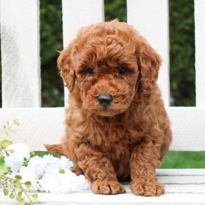 Dylan - f1bb Mini Goldendoodle