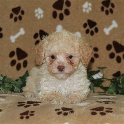 Maxwell - AKC Mini Poodle male pup for sale at Nottingham, Pennsylvania