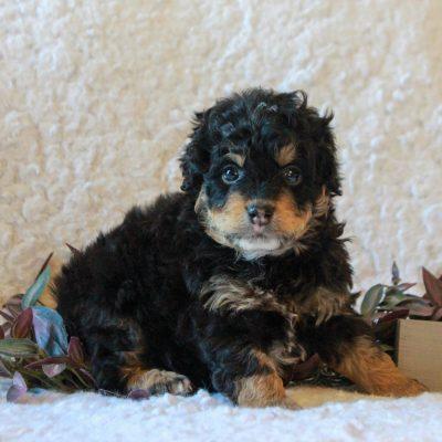 Mike - ICA Micro Mini Bernedoodle doggie for sale in Narvon, Pennsylvania