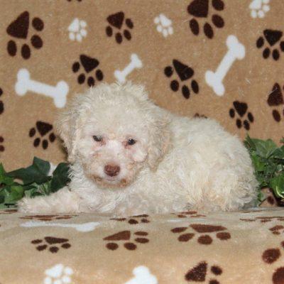 Mitch - AKC Mini Poodle male pupper for sale near Nottingham, Pennsylvania