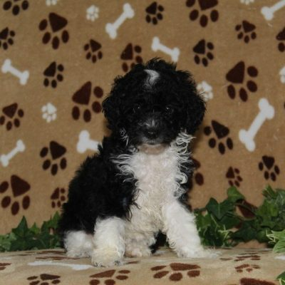 Molly - pup AKC Mini Poodle female for sale in Nottingham, Pennsylvania