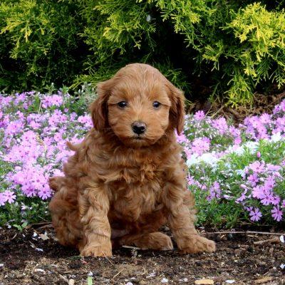 Muffin - F1b Mini Goldendoodle male pup for sale near New Providence, Pennsylvania