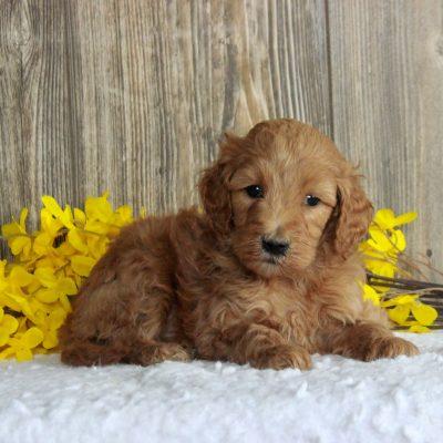 Nancy - female Standard Goldendoodle pupper for sale in Honeybrook, Pennsylvania