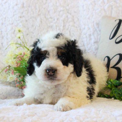 Panda - f2b ICA Mini Bernedoodle male puppie for sale in Narvon, Pennsylvania