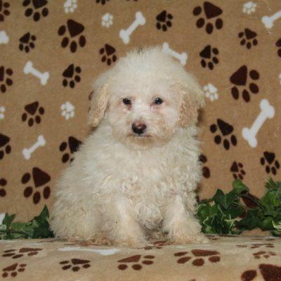 Patrick - puppie AKC Mini Poodle male for sale in Nottingham, Pennsylvania